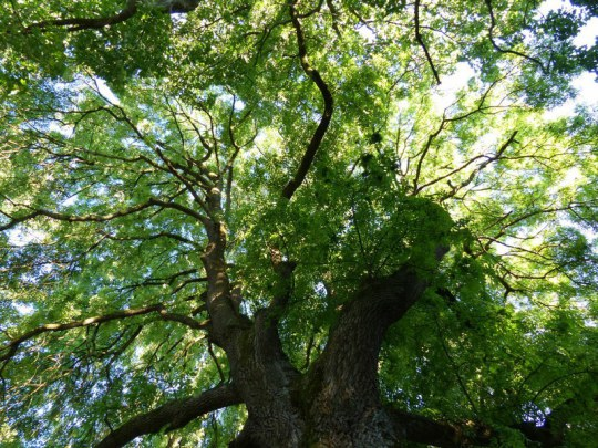 Baum im Kurpark Bad Kötzting im Juni 2014